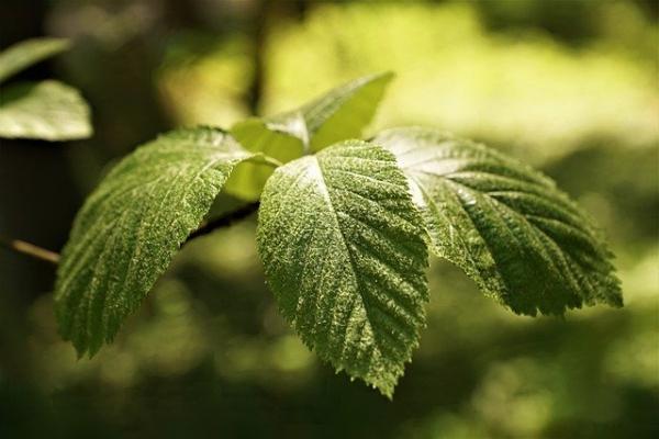 Leaf Beech Nature Summer Tree  - photosforyou / Pixabay